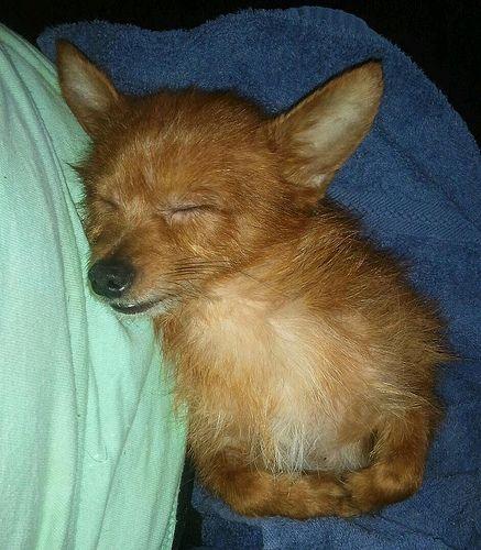 Scruffy Dogs Yorkie Chihuahua Puppies