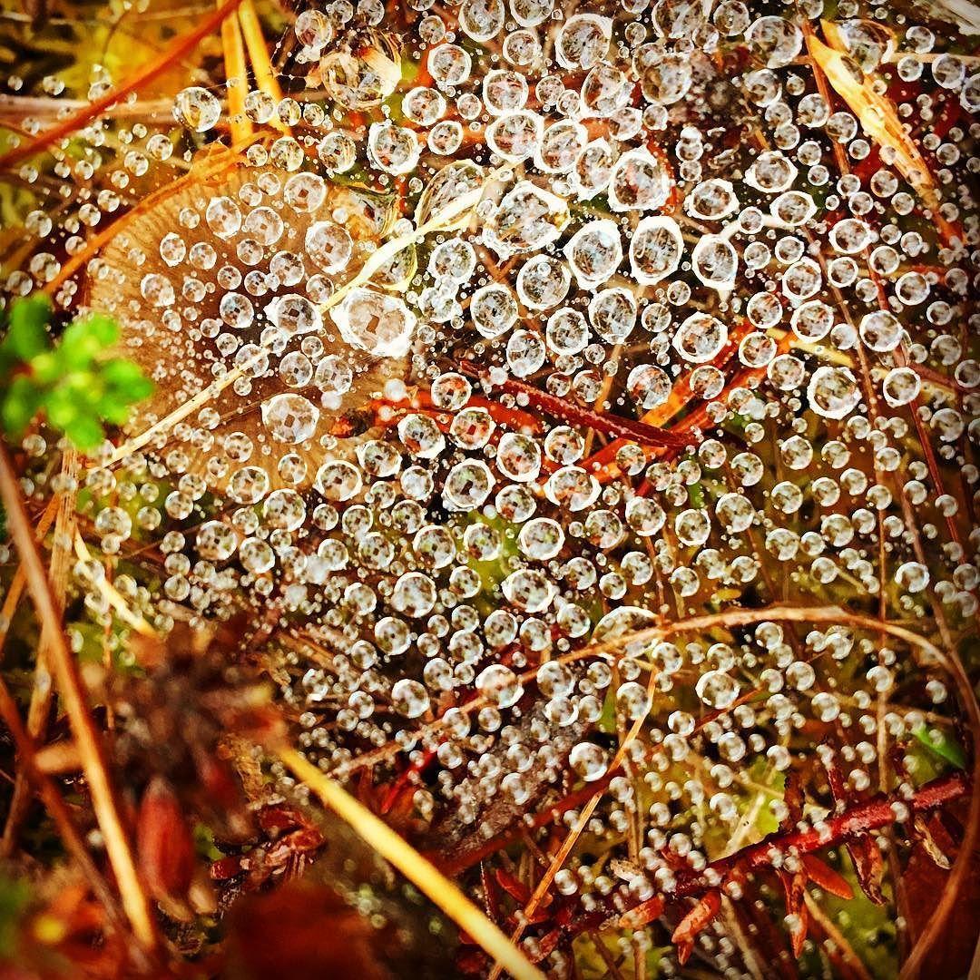 Luonnon ihmeitä  #suo #karpalosuo #karpalo #kaste #hämähäkinseitti #futuremarja