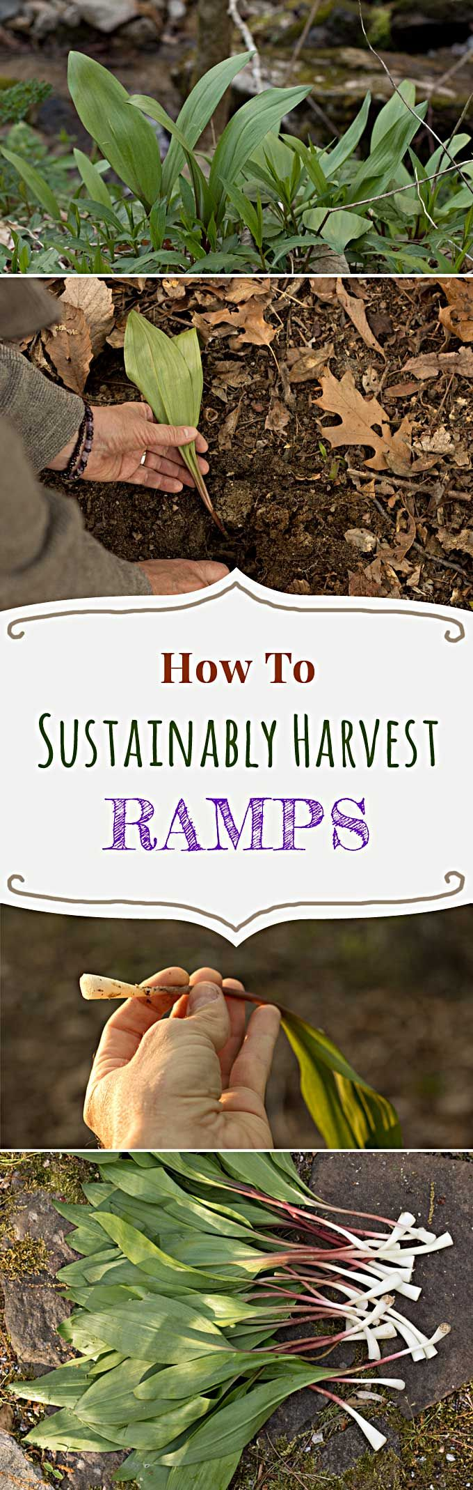 how to find wild ramps