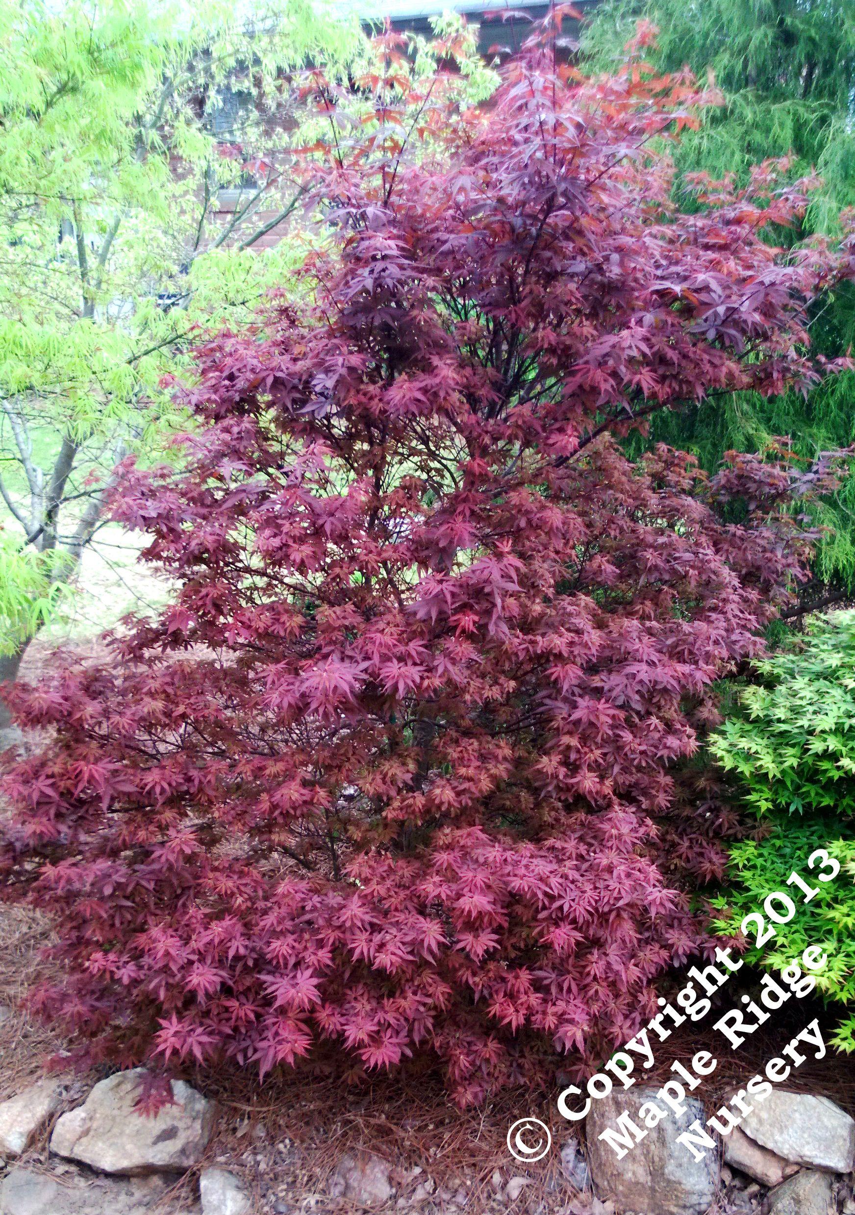 200 à 300 Cm Acer Palmatum Skeeters Broom Rouge Lumineux Au