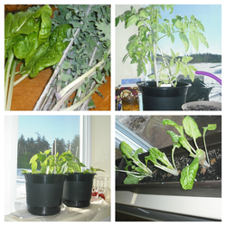 Here is our indoor winter garden....some fresh veggies when you can see snow outside is awesome! We just harvested the swiss chard/kale to add to our salad - nice. Tomatoes are getting ready to bloom.  Try it you might like it!
