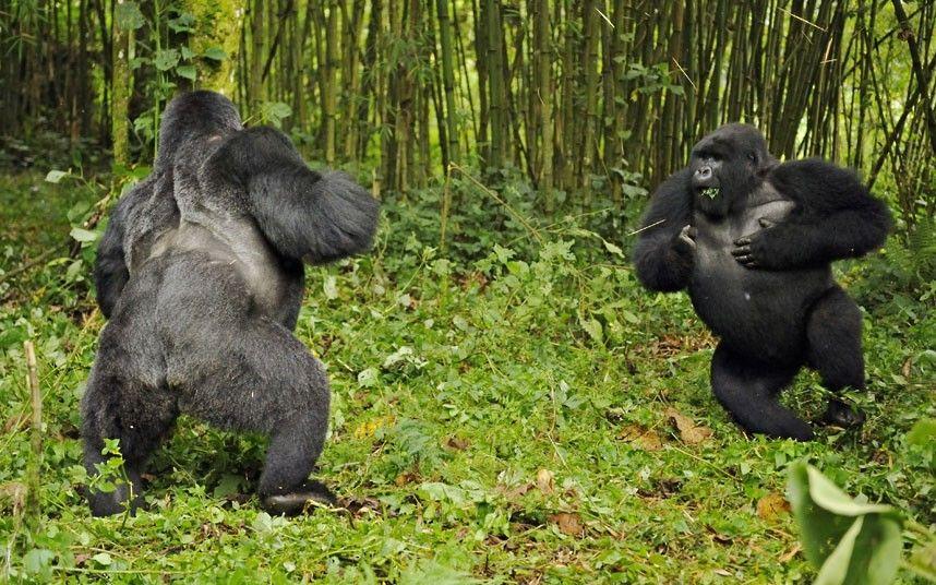 Gorilla Fighting Other Animals Another fight ... gorillas