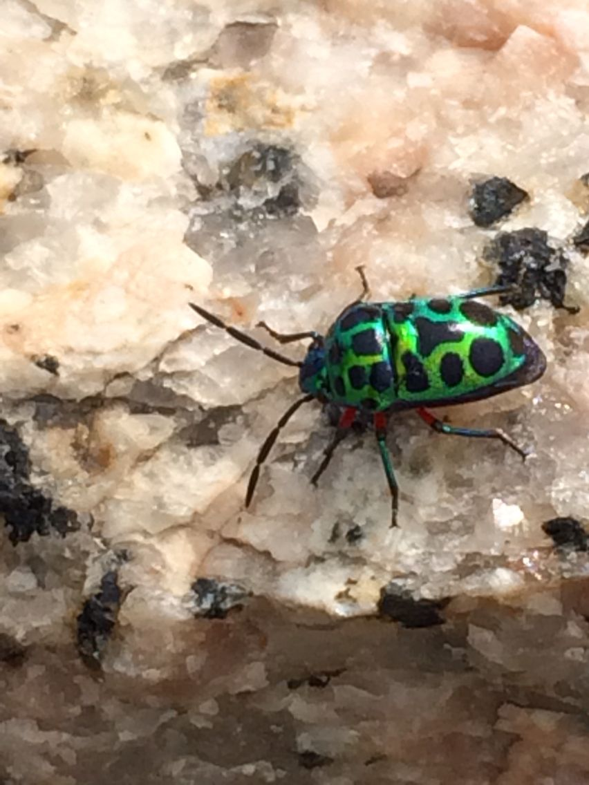 A beetle with emerald green and black spots  | Bugs Life | Beetle