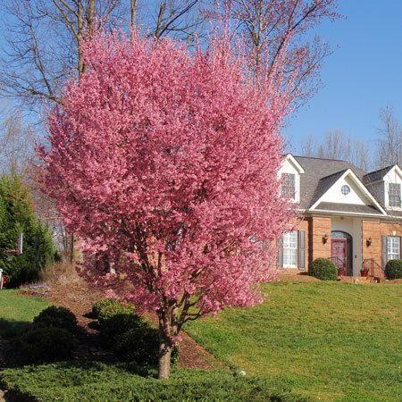 Kwanzan Cherry Tree Fast Growing Trees Cherry Tree Flowering Cherry Tree