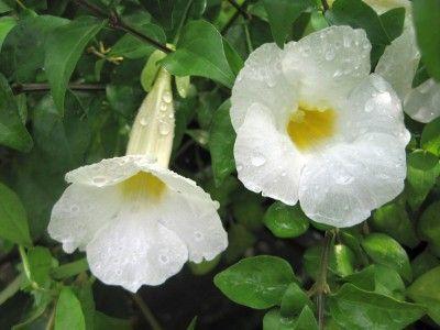 Trumpet flower vines trumpet flower plant rare plant thunbergia trumpet flower vines trumpet flower plant rare plant thunbergia kings mantel clock vine mightylinksfo