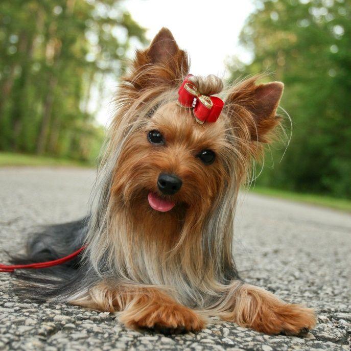 Картинка собачка йоркширский терьер