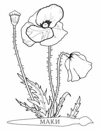раскраска цветок Мак распечатать бесплатно | Раскраски ...