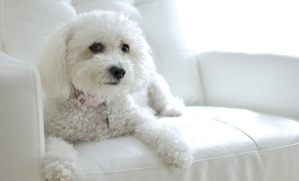 8 Healthiest Small Dog Breeds That Don T Shed Designer Dogs Breeds Maltipoo Dog Maltipoo