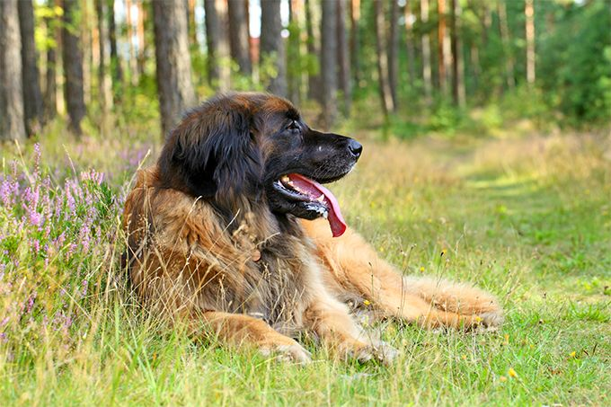 Leonberger Dog Breed Information, Pictures