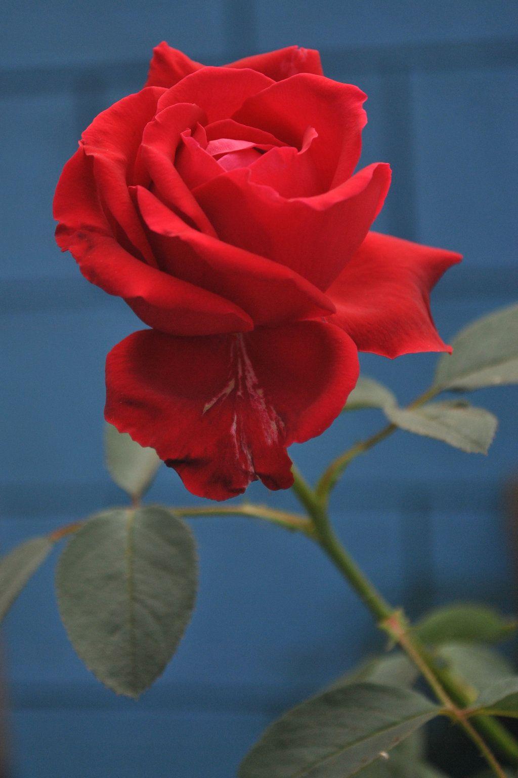 Kpj Rose 1 by kpjchippali.deviantart.com on @DeviantArt