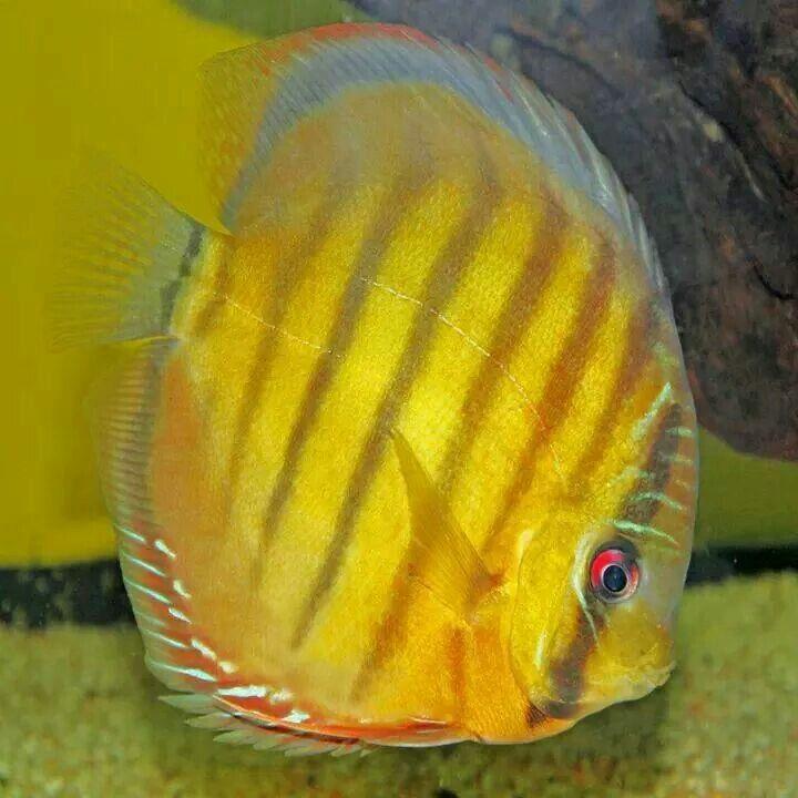 Discus Beautiful fish, Aquarium fish, Fish