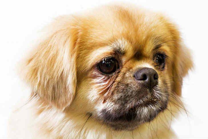 Tibetan Spaniel Dog Breed Information Tibetan Spaniel Dog Breeds Purebred Dogs
