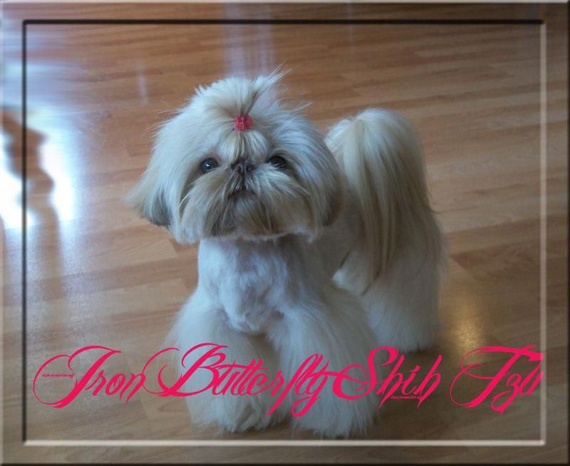 Shih Tzu Affectionate And Playful With Images Imperial Shih Tzu Shih Tzu Puppy Shih Tzu