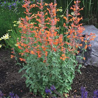 Agastache Apricot Sprite Attracts Erflies And Hummingbirds Beautiful Color Perennial Loves The Sun