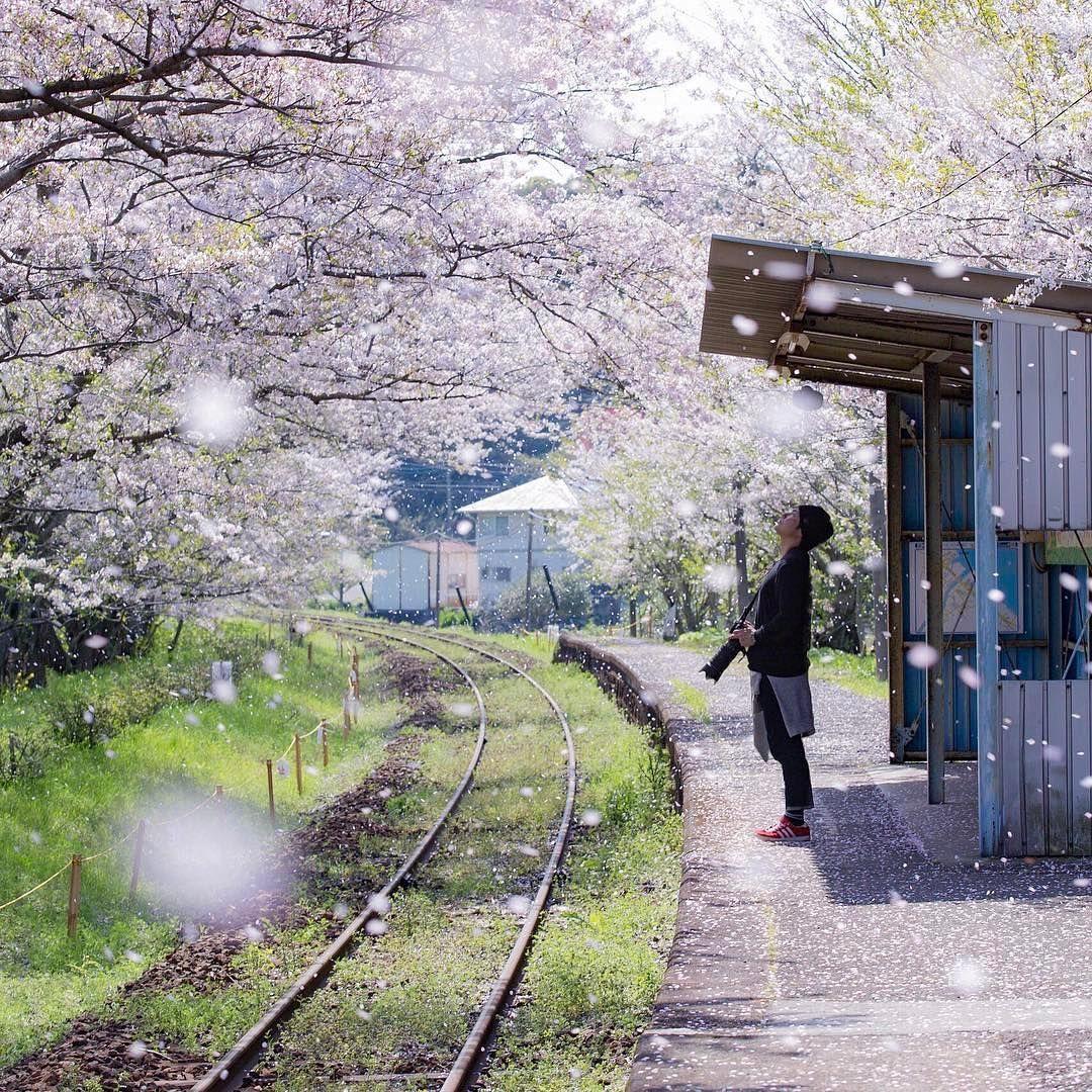 How To Get All Cherry Blossom Animal Crossing New Horizons Diys Cherry Blossom Festival Youtube