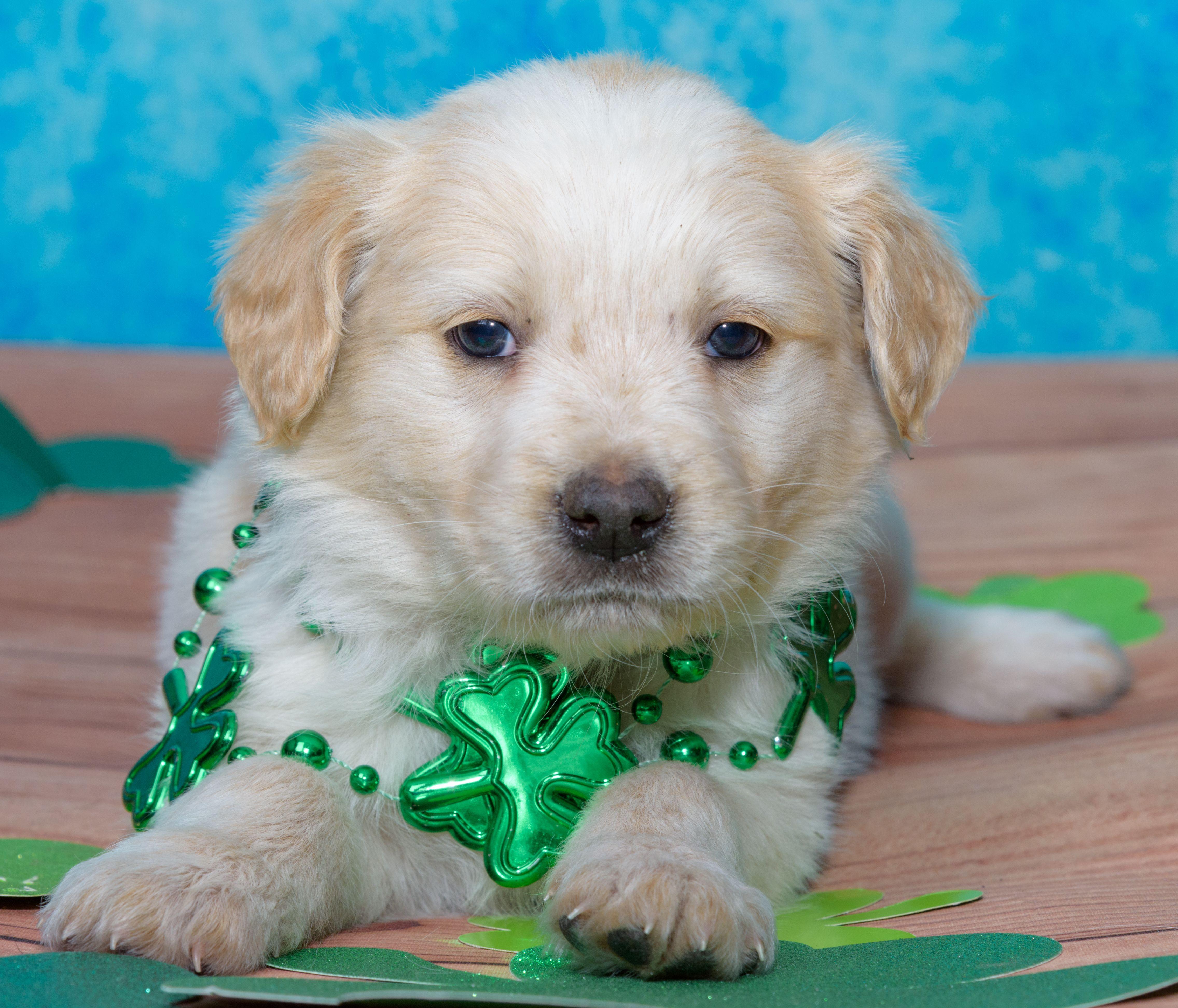 Australian Retriever dog for Adoption in Denver, CO. ADN