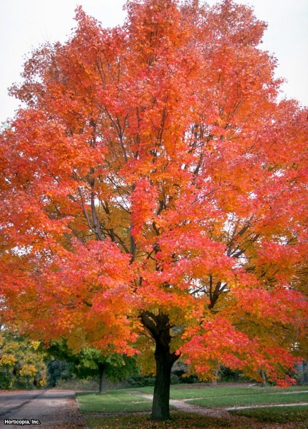 Red maple red maple also brings on the colortry autumn blaze or i love the color of this treered maple brings on the colortry autumn blaze or red sunset for a strong show sciox Choice Image