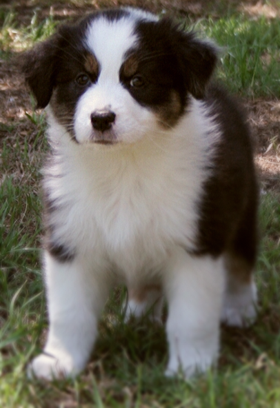 Australian Shepherd Puppies For Sale In Texas Check Out Our Pedigrees Of Our Sire And Dam Austra Australian Shepherd Puppies Shepherd Puppies Aussie Puppies