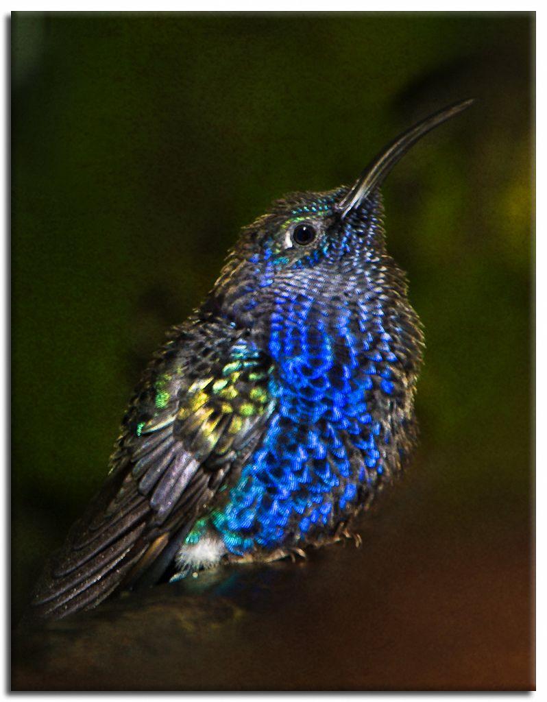 """Baby Hummingbird"" Birds Colorful birds, Baby"