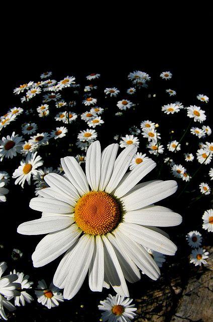 daisys | Margeriten, Gänseblümchen und Blumen