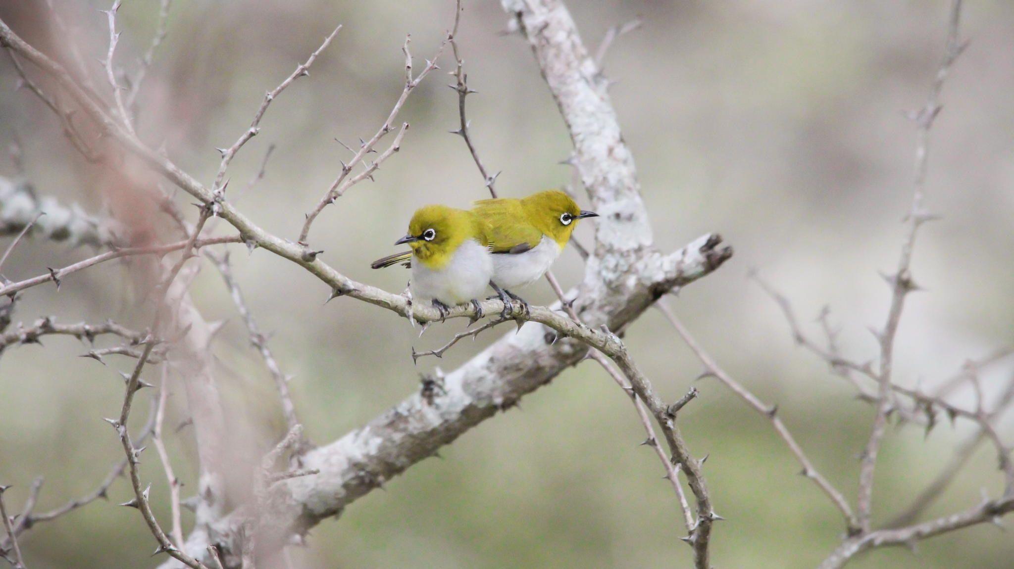 Oriental White-eye Pair !! <3 - Place: Masinagudi Forest