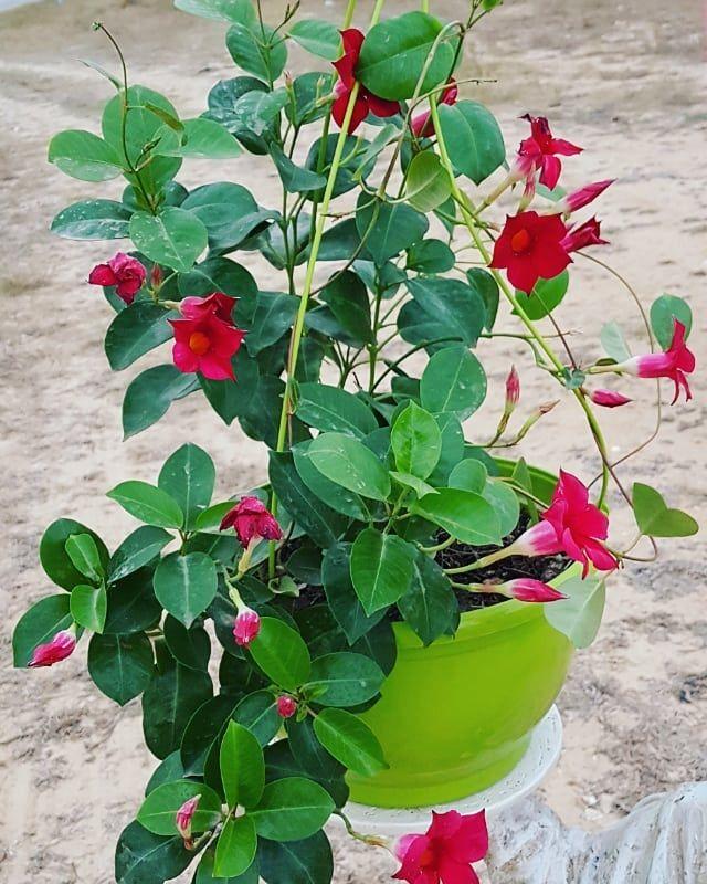 25 dinars ❤ + Livraison à Domicile😉 . . . . #plante #plantenabler #planted #plantedtanks #planten #plantedtank #planter #plantes…