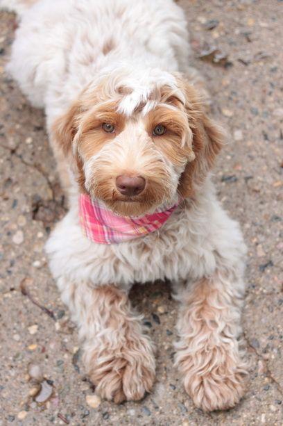 Caramel Roan Australian Labradoodle Puppy Gorgeous Australian