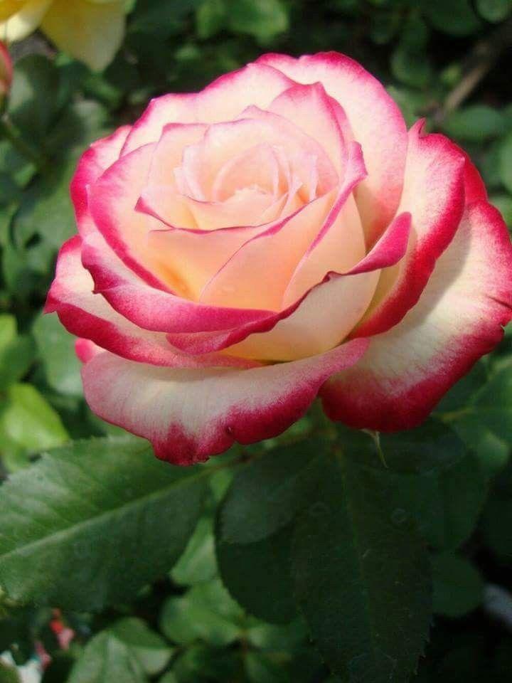 pin von supreet kaur auf flowerz pinterest rose sch ne blumen und bl ten. Black Bedroom Furniture Sets. Home Design Ideas