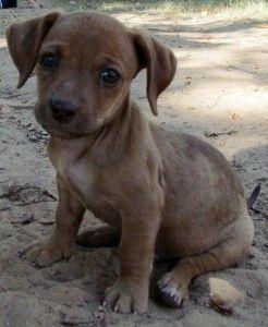 Chiweenie Puppies Review Cute Baby Animals Puppies Chiweenie