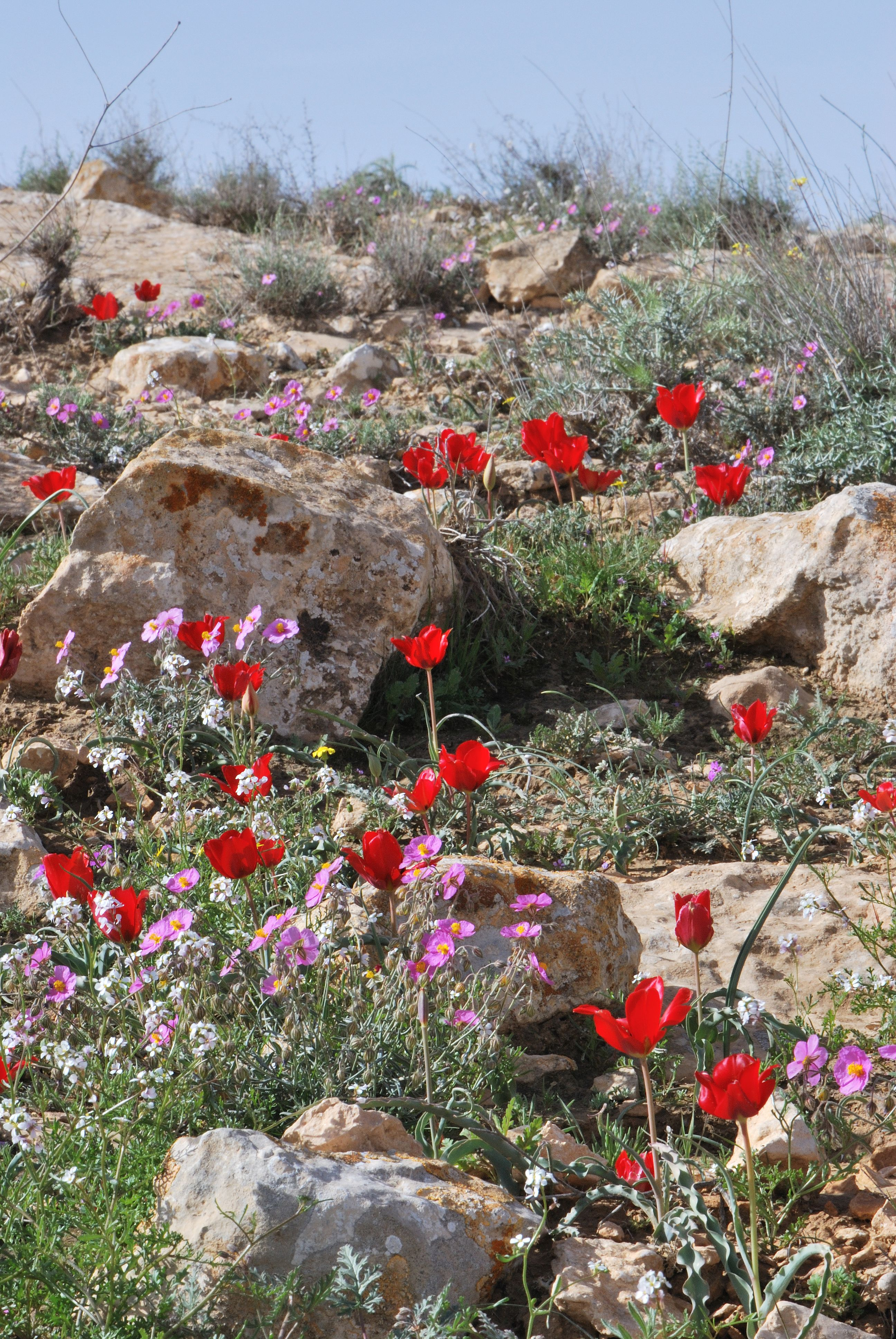 Spring blooms in the Negev, including Tulipa systola, Helianthemum vesicarium and Erucaria microcarpa.