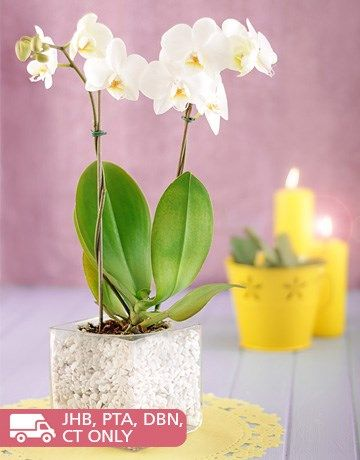 Buy Mini Phalaenopsis In A Square Vase Online Netflorist White Orchids Filled Vases Orchids