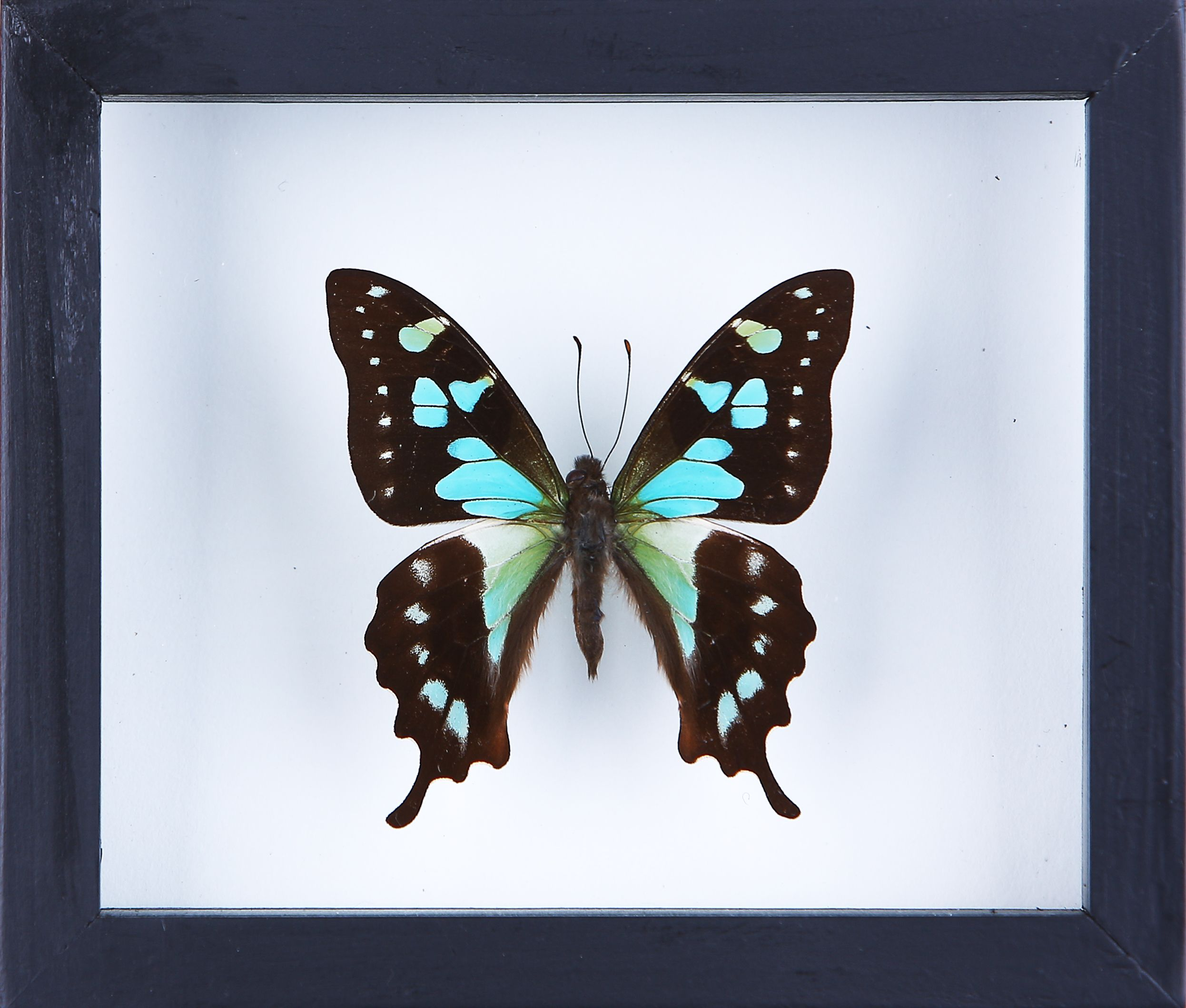 butterfly taxidermy see-through glass frame by www.bugsdirect.com ...