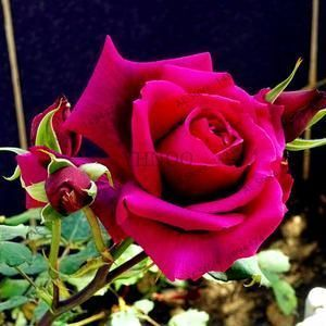 Rainbow Rose Seeds #rainbowroses