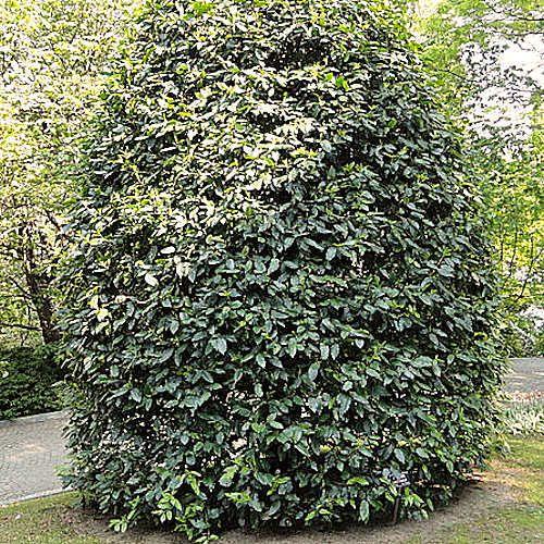 Prunus lusitanica laurier du portugal jeune plante en godet prunus lusitanica laurier palme est - Haie de laurier palme ...