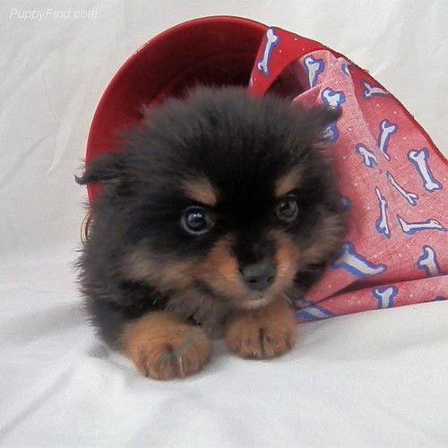 Faith Aca Female Pomeranian For Sale In Greenville Tx