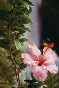 How To Winterize A Perennial Hibiscus Garden Ideas Althea Plant