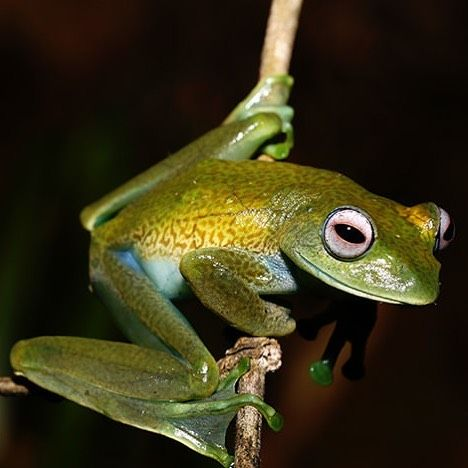 Boophis elenae from Madagascar. #herpkeepers #boophis ...