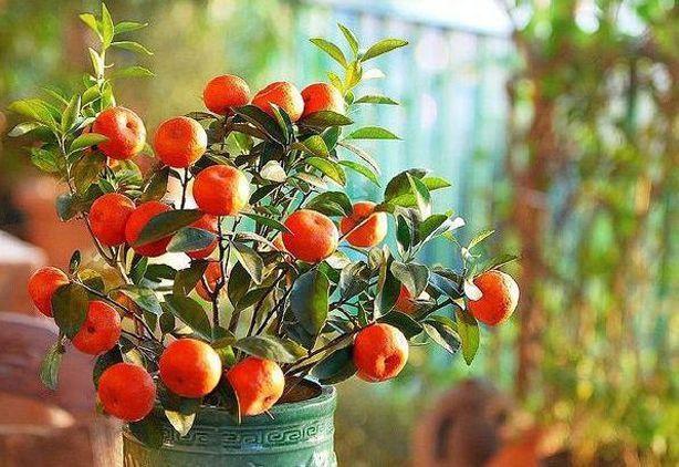 planta que mandarina en maceta | cosas de casa | pinterest