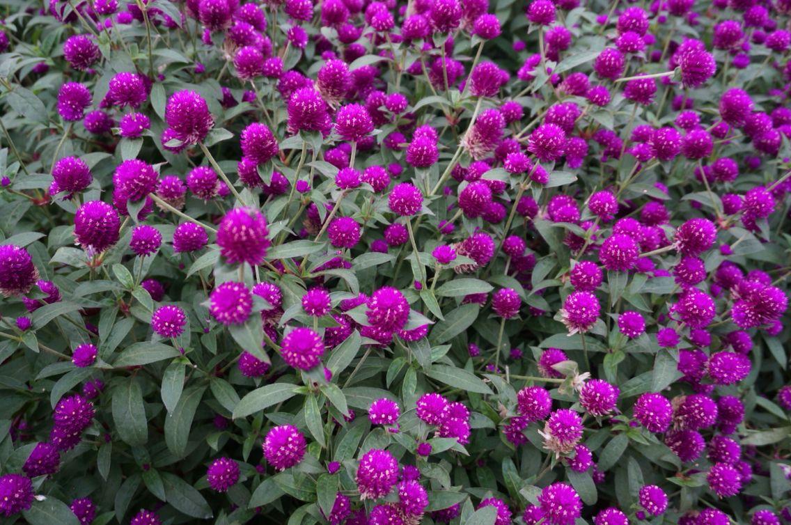 Flower Cameron Highland