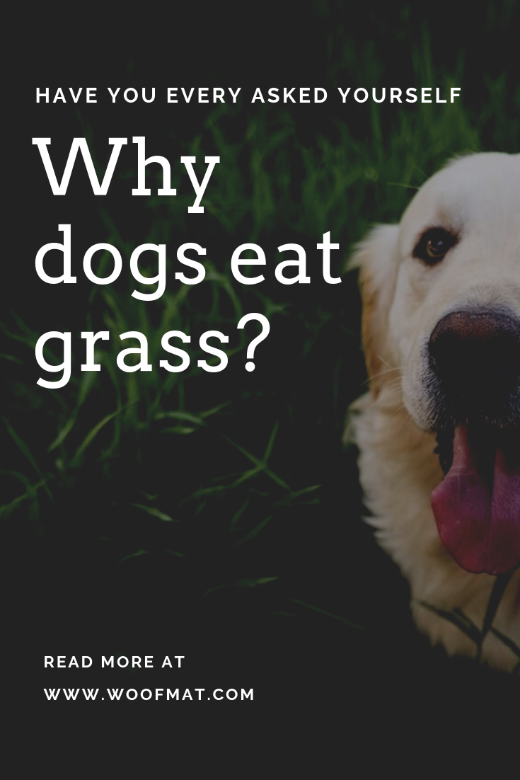 Why Dogs Eat Grass Dog Eating Dogs Eating Grass Dogs