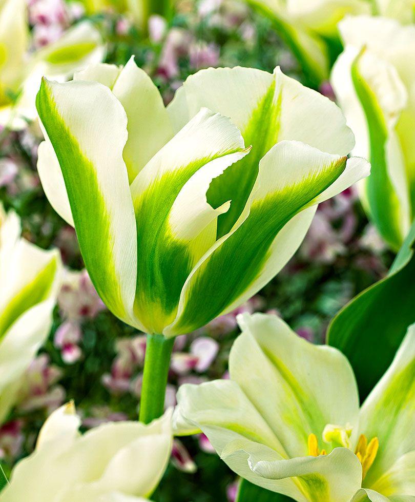 Tulipán 'Spring Green'