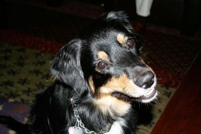 Meet Bailey ASRM 0075, an 8 yr old Black Tri Aussie female. She is spayed and up to date on all her shots. She comes to us from a home that was very sad to see her go, but with a very active 2 year old child, Bailey was not a good match. She walks well on a leash and rides well in a car. She is housebroken and really just an excellent girl for a family looking for a moderate energy Aussie. She gets along with other dogs and has not been tested with cats. She knows commands and is well…