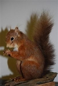 red squirrel mount