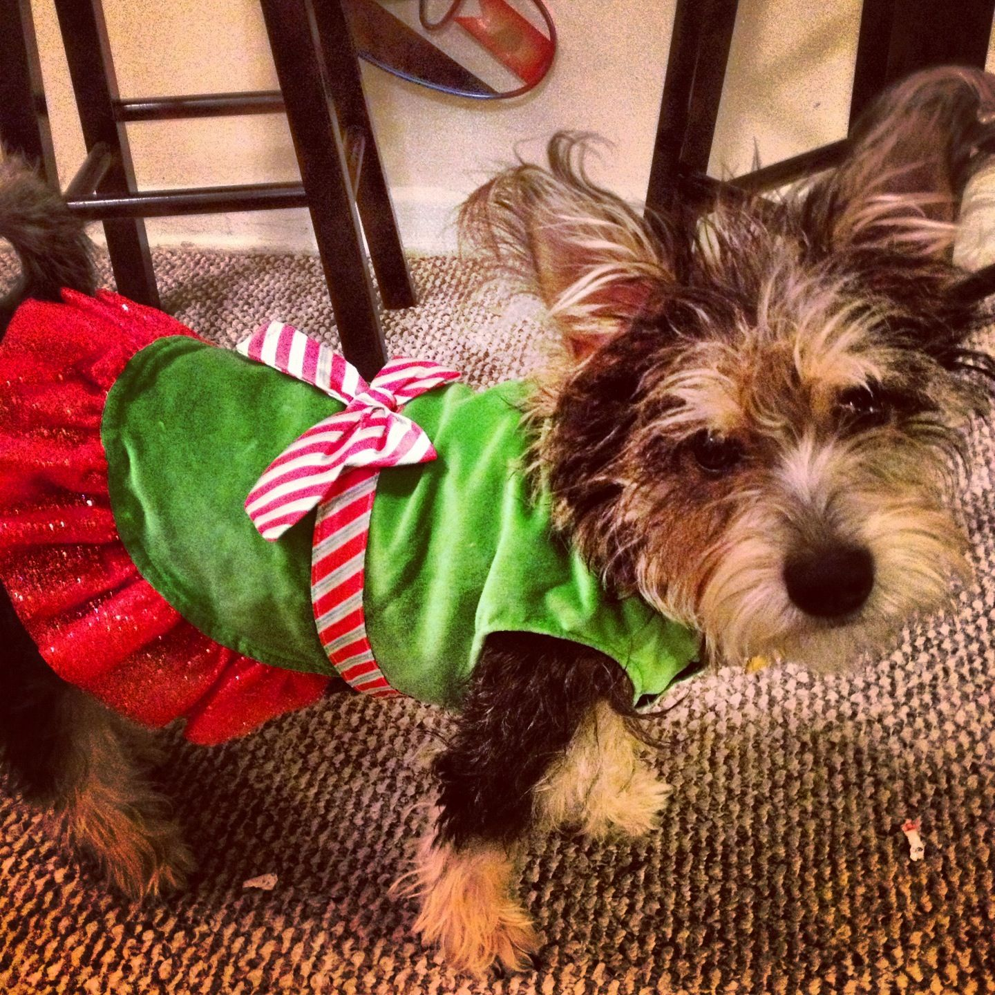 PET holiday costume at target. Daisy is Santas little helper for her first Christmas !