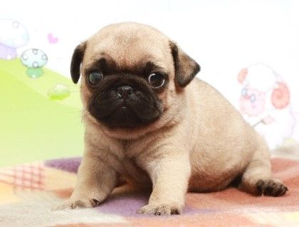 Pin By Nicole On Awesome Cute Pugs Cute Pug Puppies Baby Pugs