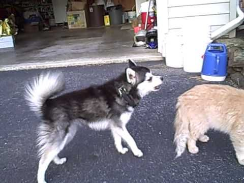 Miki and the cat Alaskan Klee Kai #miniaturehusky