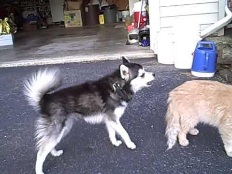 Miki and the cat Alaskan Klee Kai #miniaturehusky