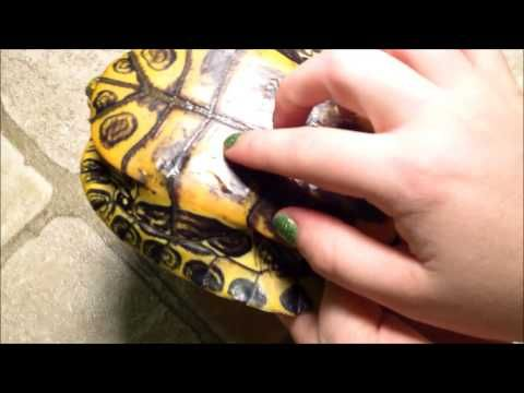 ▷ How to Tell if your Turtle's Shell is Healthy, Spot Shell