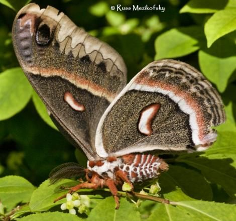 Butterflies and Moths of North America | collecting and sharing data about Lepidoptera  Hyalophora cecropia