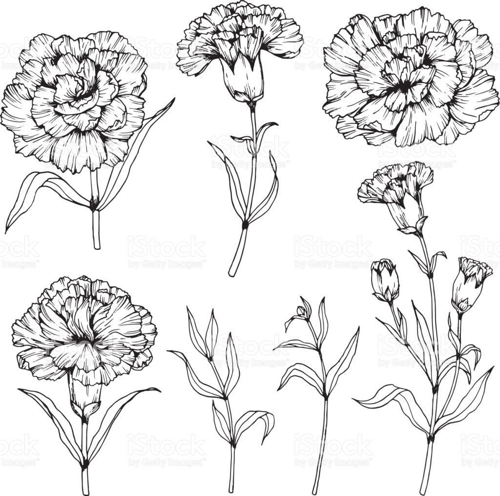 Image Result For Carnation Drawing Carnation Tattoo Carnation Flower Drawing Illustration Black And Wh In 2020 Carnation Flower Tattoo Carnation Drawing Flower Drawing